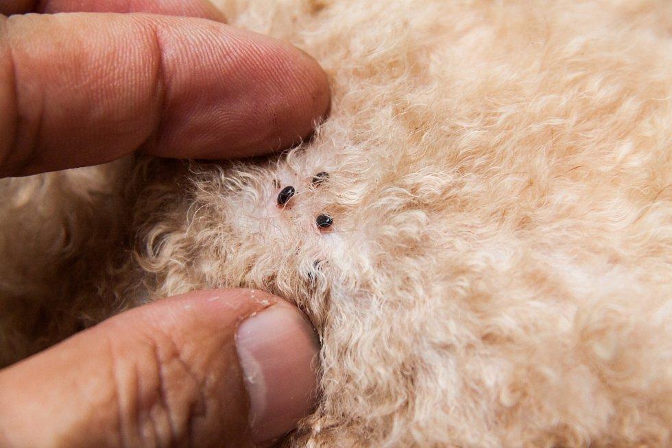 Klíšťata a blechy by majitelé domácích mazlíčků neměli podceňovat.