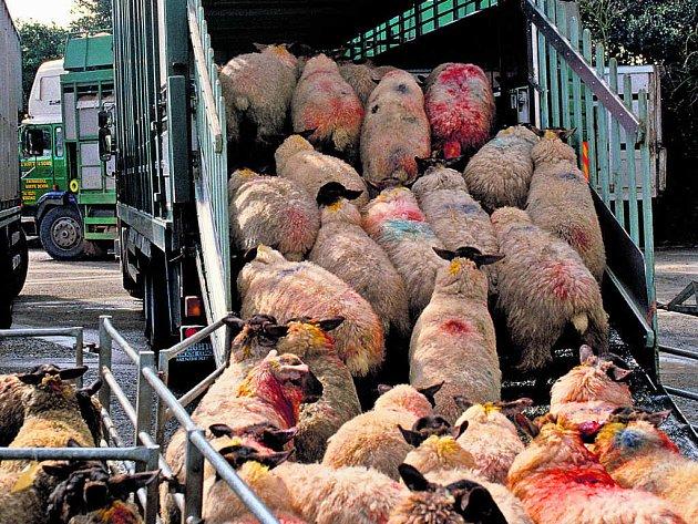 Zvířata při transportu na jatka zakoušejí neskutečné utrpení.