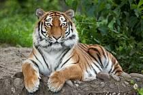 Tygr je největší kočka na světě.