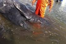 """Mexičtí rybáři našli unikátní velrybí """"siamská dvojčata""""."""