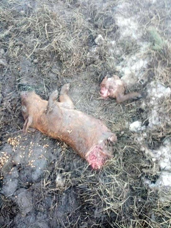 Po útoku vlků zbyla jen roztrhaná podsvinčata a stopy ve sněhu.