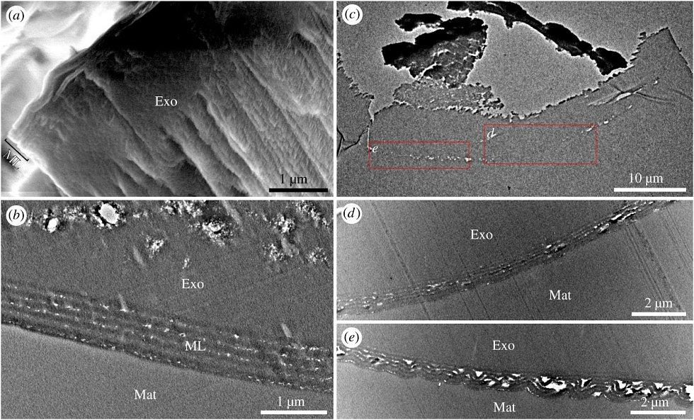 Jednotlivé články pravěkých vos pod elektronovým mikroskopem, naznačující příčiny zbarvení