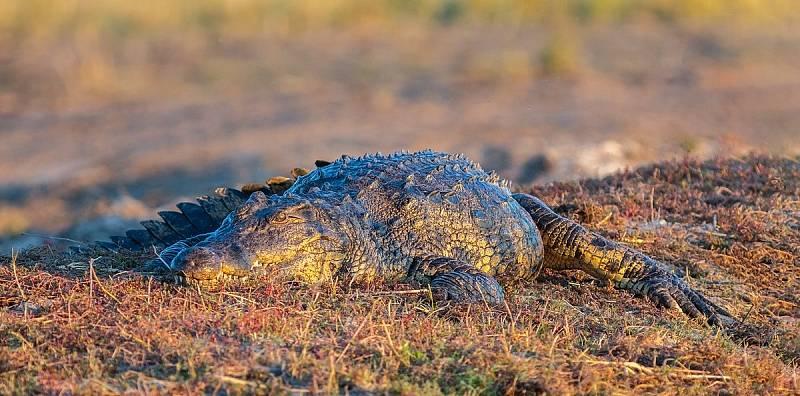 Krokodýl nilský zřejmě sdílel s Voay robustus životní prostor na Madagaskaru, na rozdíl od svého pravěkého druha ale obývá ostrov dodnes