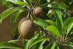 Velkoplodým odrůdám kiwi se daří jen v teplejších oblastech; v zimě je potřeba je chránit před mrazem chvojím.