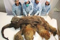 Vědci se samicí mamuta, ze které odebírali vzorky DNA