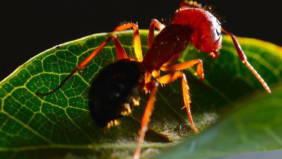 Ohnivý mravenec