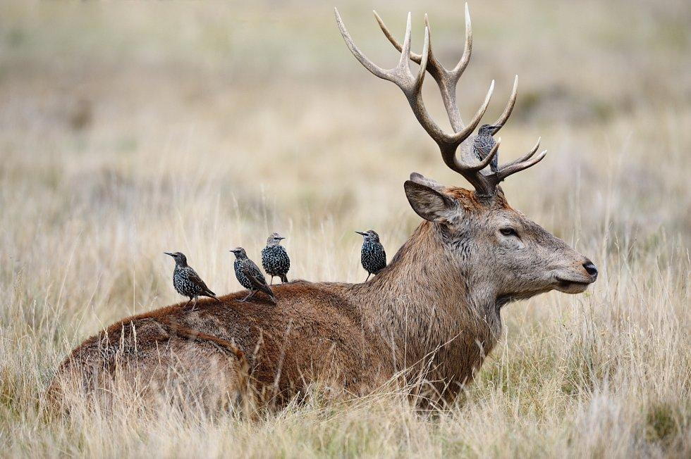 Symbióza. Ptáci se nasytí a jelen se zbaví parazitů.