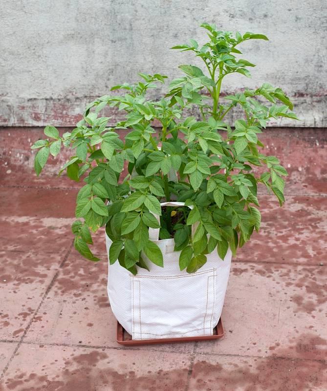 Pro pěstování brambor lze využít silnější plastové pytle na odpadky, osvědčí se také pevné obaly největších balení granulí pro domácí mazlíčky nebo objemné igelitové tašky.