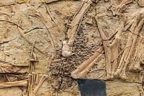 Dobře zachovaná část kostry dinosauara Caudipteryx zoui. Konkrétně tento exemplář patří do sbírek pekingského přírodovědného muzea. Vědci předpokládají, že ve zkamenělých částech kostry by se mohla uchovat i dinosauří DNA