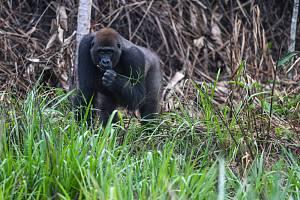 Samec kriticky ohrožené gorily nížinné v pralese na pomezí Konga a Gabonu