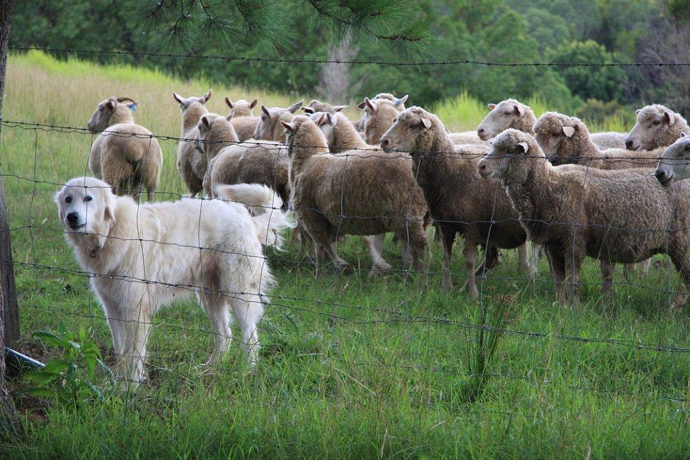 Chov ovcí je významným oborem australského potravinářství
