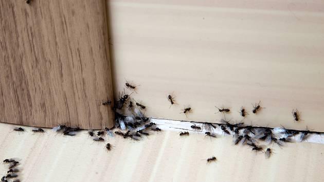 Mravenci v kuchyni. Ilustrační foto.