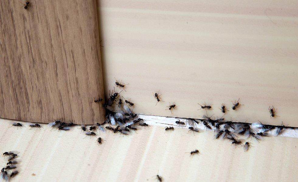 Mravenci v kuchyni
