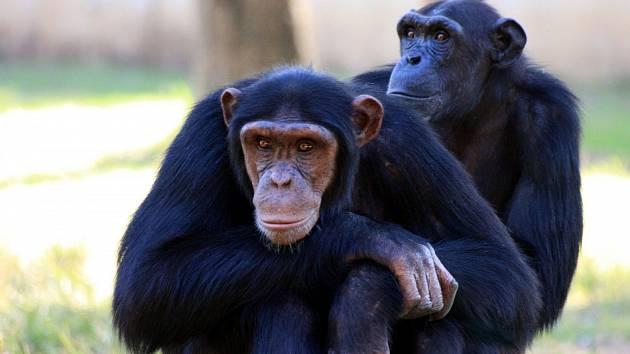 Něco tak zcela běžného, jako je potřesení rukou při pozdravu, není nic pouze lidského. Funguje i mezi šimpanzi.