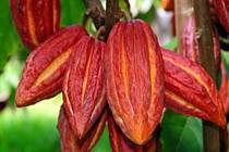 Rubínové boby kakaovníku