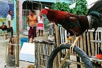 Kohoutí zápasy na Filipínách