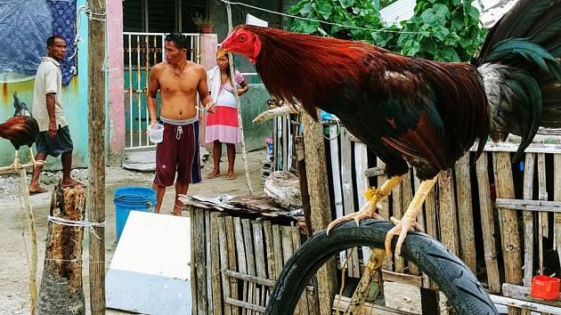 4b2daa64aeb Kohoutí zápasy přitahují davy Filipínců. Poražený bojovník putuje do ...