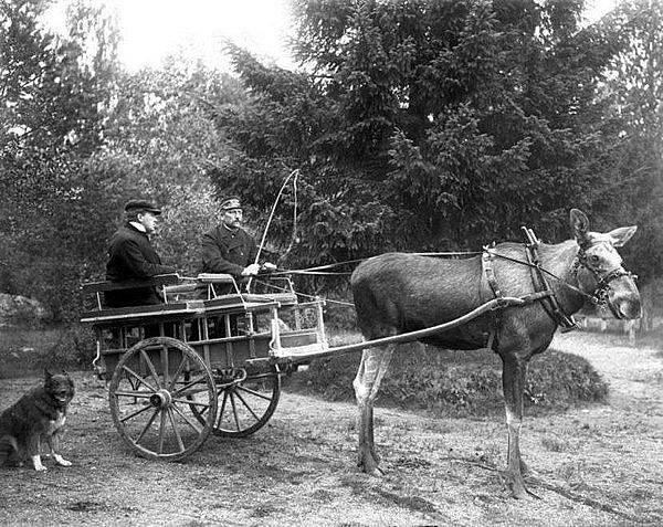 Stolta, slavná švédská losice v zápřahu circa 1908