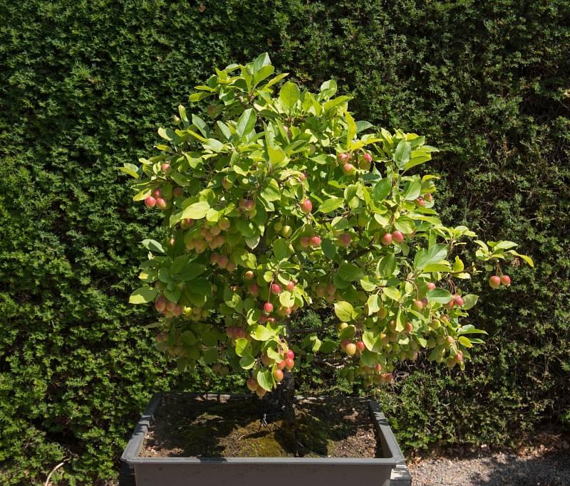 Jabloň lesní je malý strom, případně větší keř z čeledi růžovitých