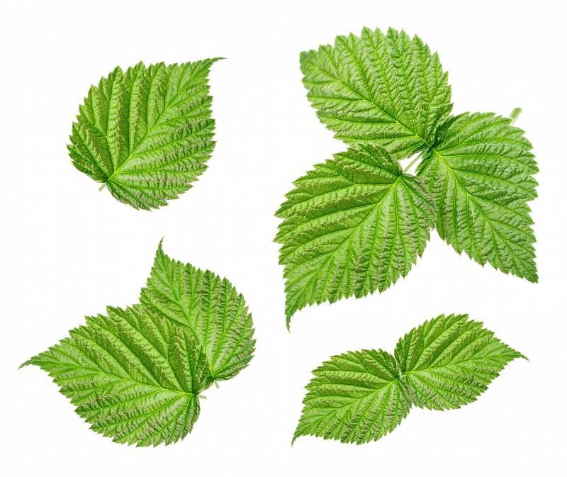 Malinové listí vyrovnává hormonální hladiny, podporuje veškerý systém hormonů, pomáhá růstu vlasů anapomáhá slinivce.