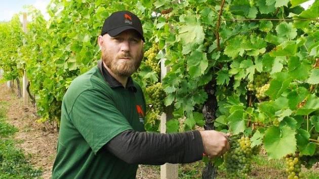 Tomáš Šupa při vinobraní na viniční trati Hejdy, Nenkovice – Vinařství Neoklas Šardice
