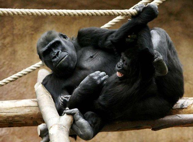 Gorily Kijivu a Moja v pražské ZOO