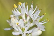 Rostlinu s názvem Triantha occidentalis věda zná již od 19. století. Nyní se ukázalo, že je tato severoamerická květina masožravkou.