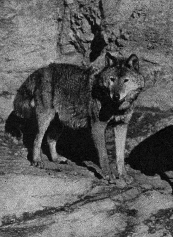 Vlčice Lota, samice vlka eurasijského