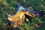Mrtvý orel mořský. Ilustrační foto.