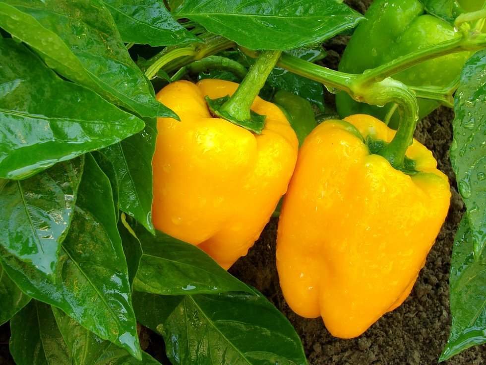 Podle odborníků oslovených Deníkem cena zeleniny dlouhodobě setrvale stoupá. Uklidňují však, že s příchodem sezony by paprika mohla opět zlevnit.