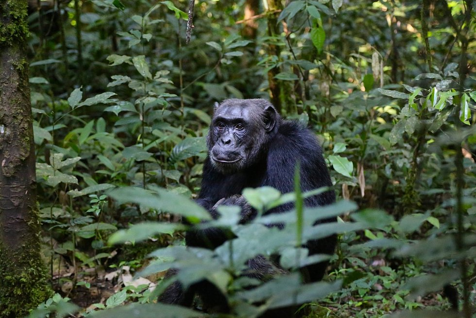 Stejně jako u lidí, i mezi nimi se najdou nejrůznější formy tohoto typu pozdravu. Hlavní roli hraje kultura. A vypadá to, že ta lidská je s tou šimpanzi v lecčem podobná.