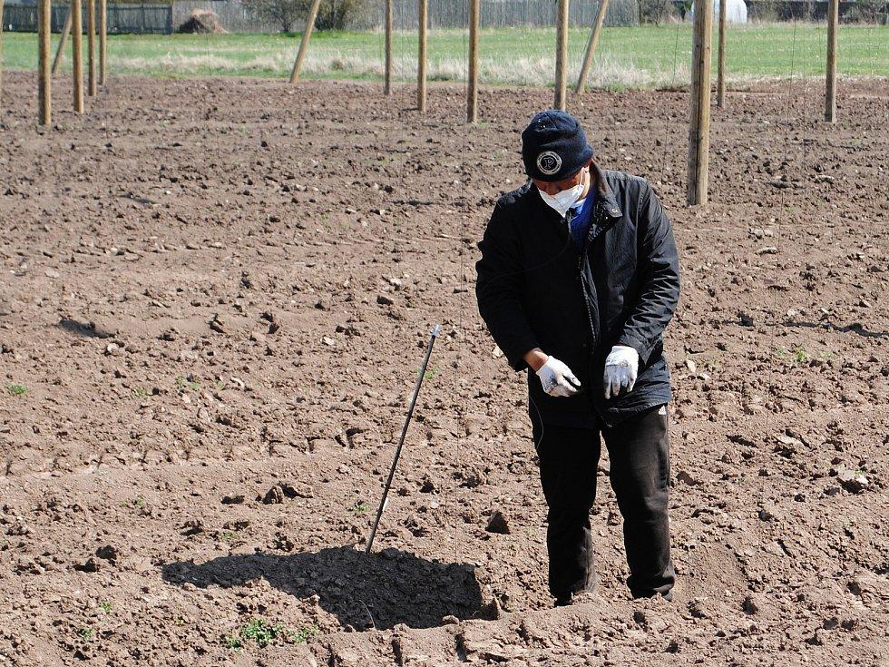 Brigádníci ve chmelnicích v těchto dnech zapichují dráty k rostlinám.