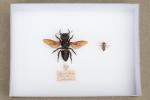 Megachile pluto