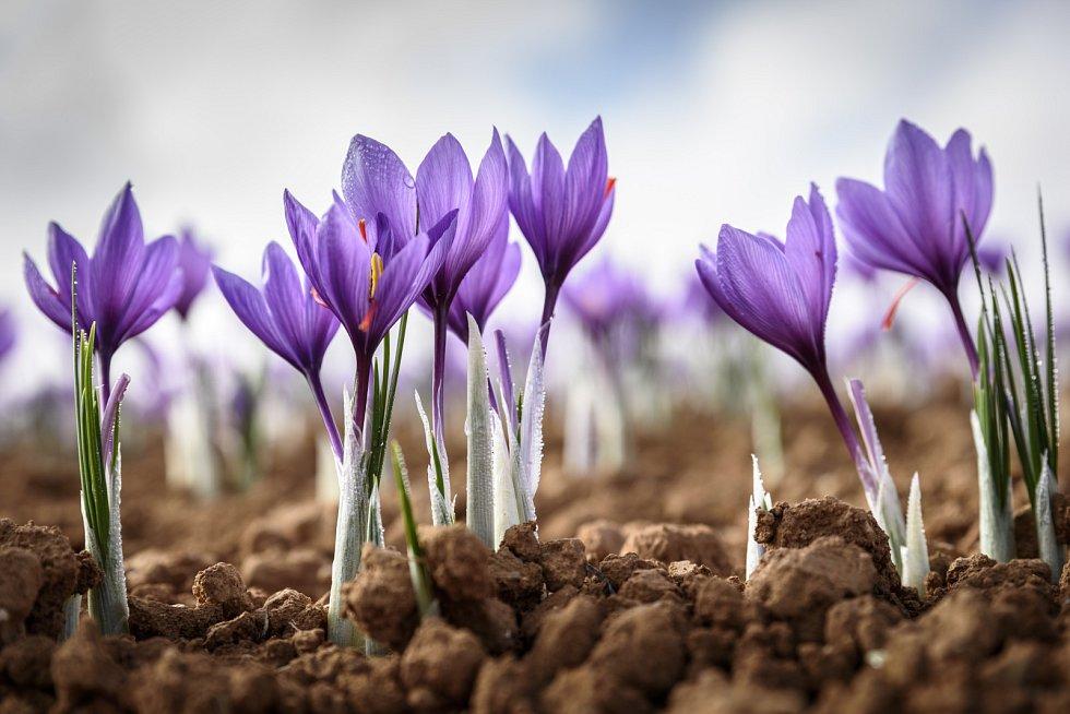 V době květu potřebuje šafrán chráněné stanoviště se stále vlhkou, avšak dobře propustnou a vzdušnou půdou. Snese sice i polostín, ale v něm hůře nakvétá.