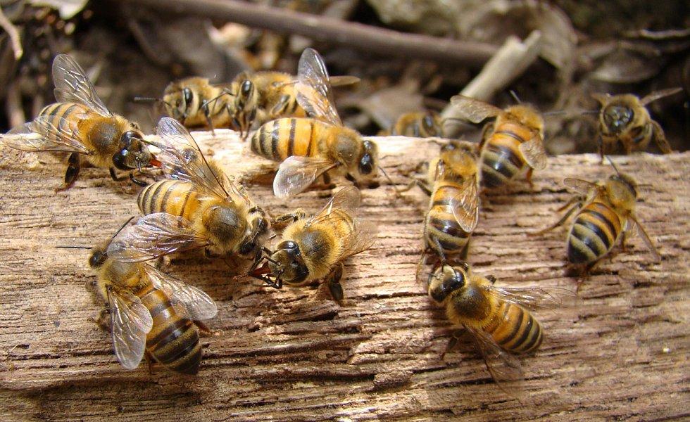 Včela medonosná středoafrická