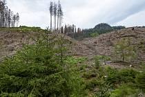Holina po kůrovcové těžbě z předchozích let (uprostřed), zelené mladé smrčky (vpředu) a kůrovcem napadený les (vzadu) v Pravčickém dole v Národním parku České Švýcarsko na snímku ze 7. srpna 2019