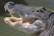 Imunitní systém aligátorů je dokonalejší než ten lidský. Ilustrační foto.