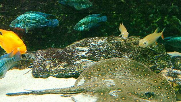 Párek sladkovodních rejnoků, trnuch tečkovaných, přivedl v Obřím akváriu na svět čtyři mláďáta.