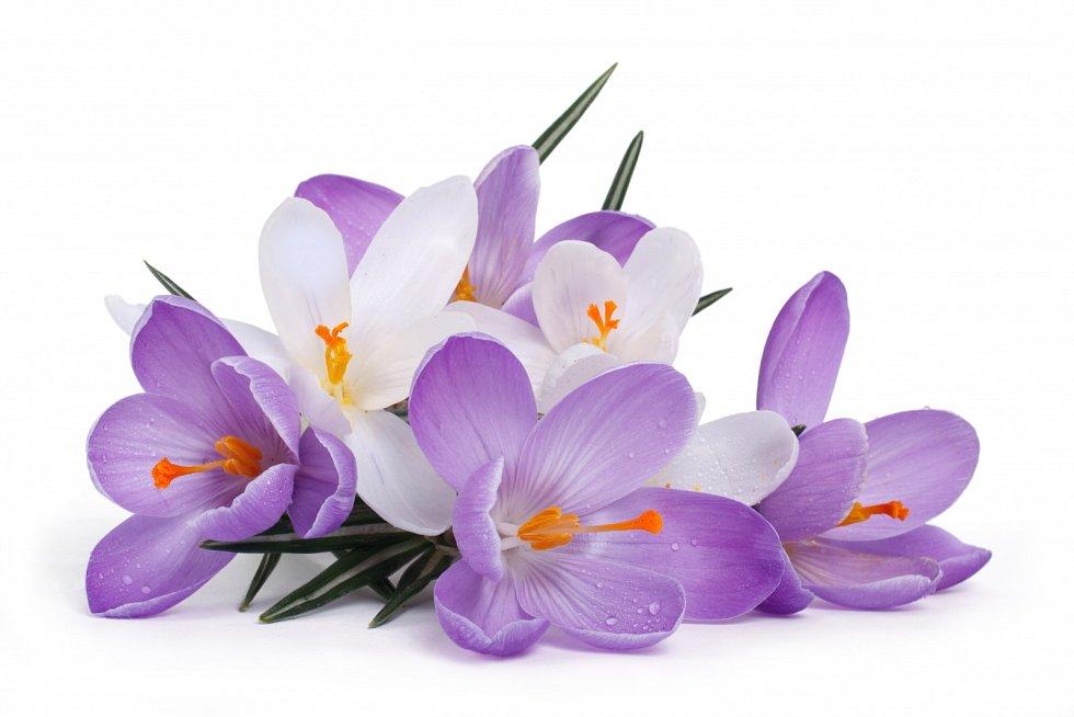 V přírodě roste šafrán jarní (Crocus vernus) na vlhkých osluněných loukách, na nichž vytváří na jaře zářivé, husté porosty.