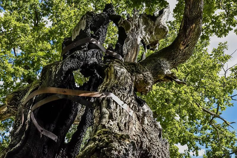 Otec lesů – Vrakodávný veledub (Nesmrtelný velikán). Žiželice