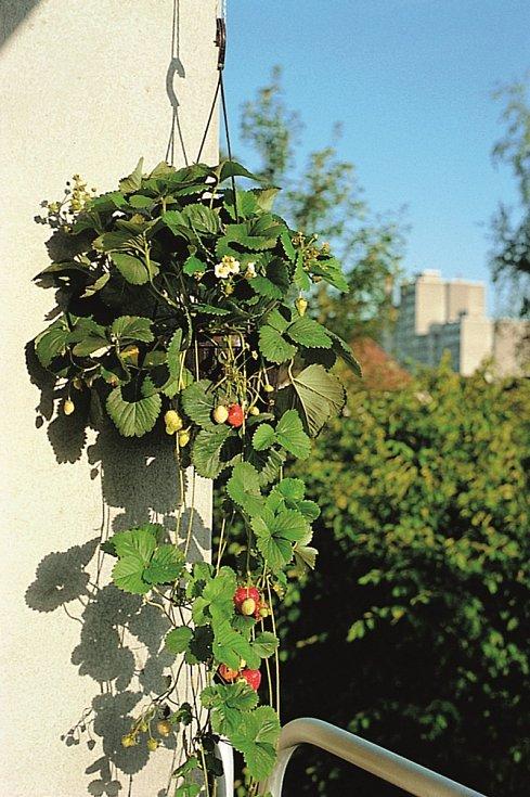 Vkvětináči i truhlíku se bude dařit také jahodám, v závěsných nádobách můžete pěstovat převislé odrůdy.