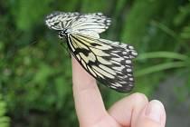 V pražské botanické zahradě můžete být v těchto dnech svědky líhnutí exotických motýlů.