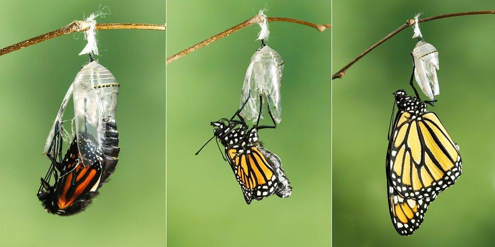 Monarcha stěhovavý (danaus plexippus)