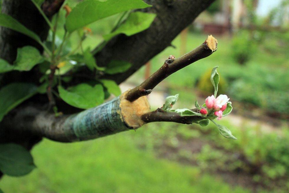 Základem úspěchu je doba, kdy roubujete. Strom musí být vplné míze, nejlépe před květem.