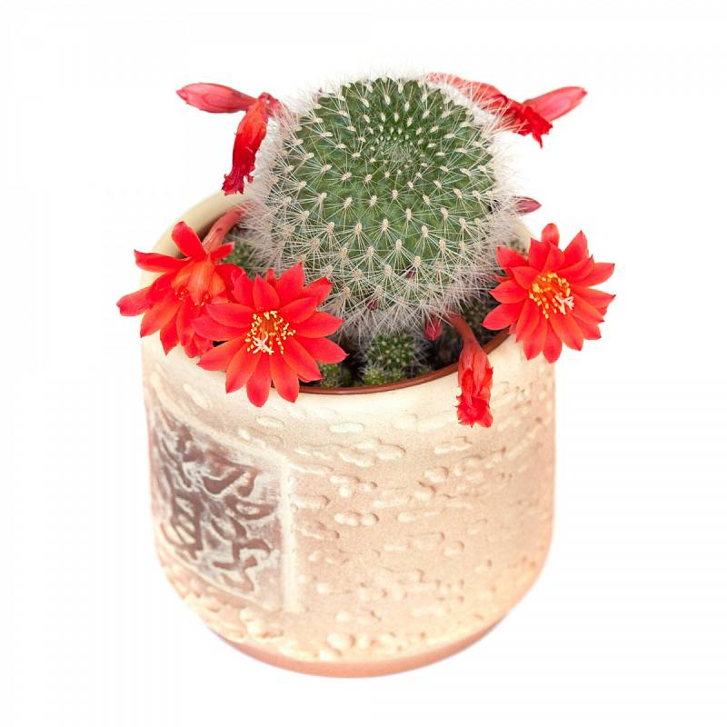 Kaktusy pocházejí z amerického kontinentu. V současné době rostou po celém světě, ale nejvíc jich najdete i nadále v Americe, hlavně v Mexiku, Argentině či Bolívii.