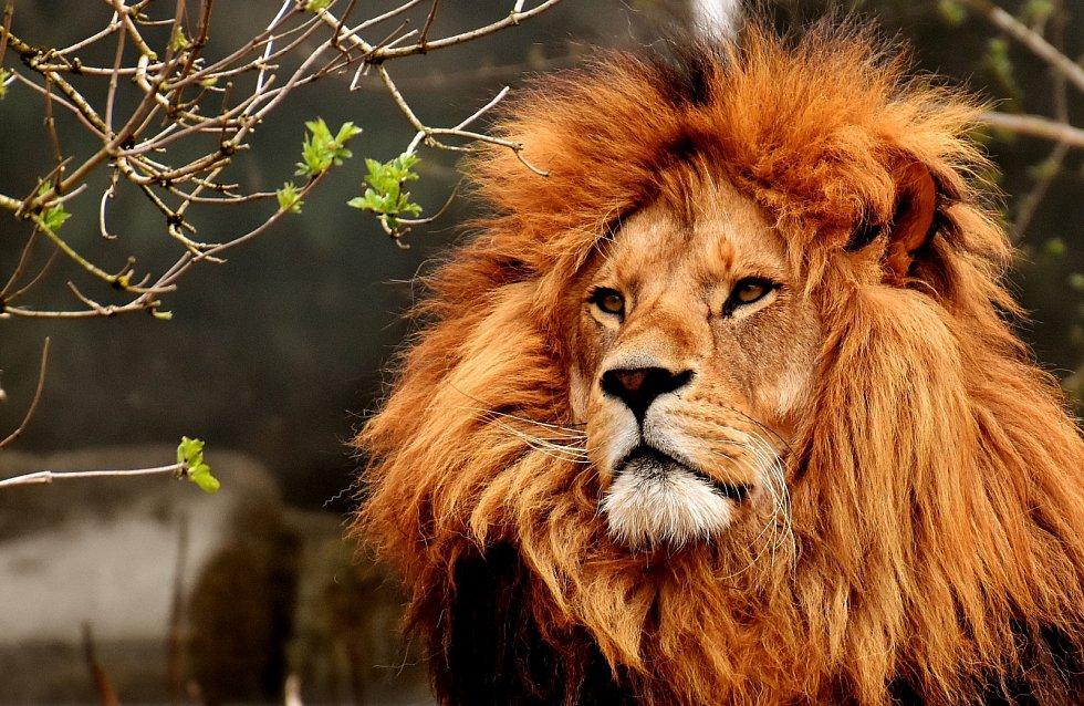 I král zvířat ví, co to znamená nakažlivé zívání.