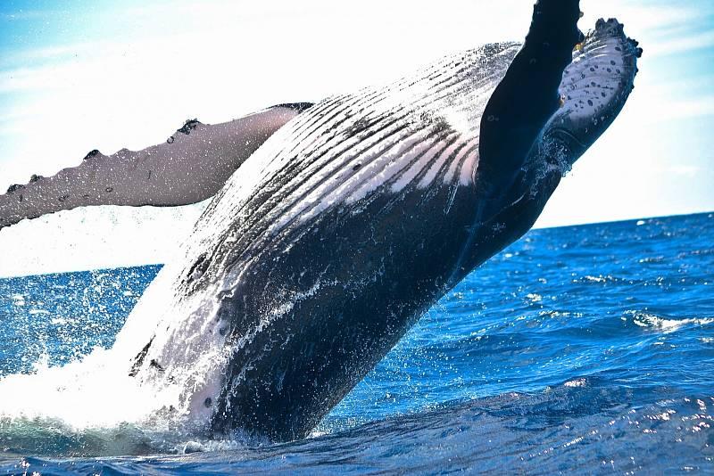Velryby se při kontaktu identifikují podle konkrétních vzorců klapání, které podle všeho používají jako jména. A jednotlivé rytmické série se učí stejně, jako se lidé učí jazyky, od blábolivého rámusu, až po korektní cvakání daného klanu.