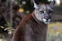 Puma americká. Ilustrační snímek