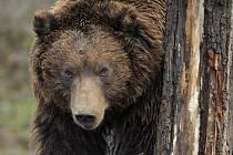 Medvěd hnědý - ilustrační foto.