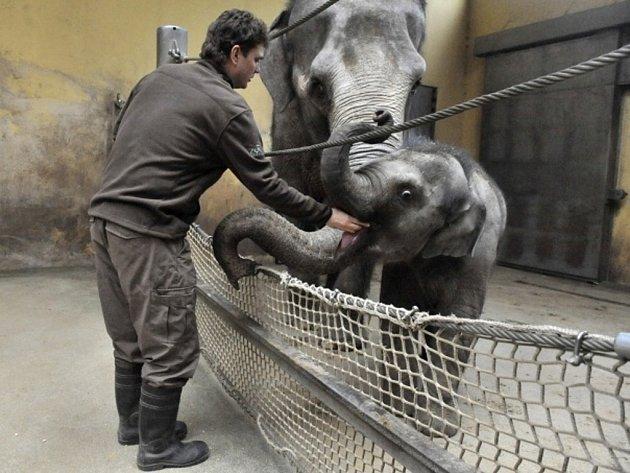 Ostravská sloní samička Rashmi se svou matkou Johti.